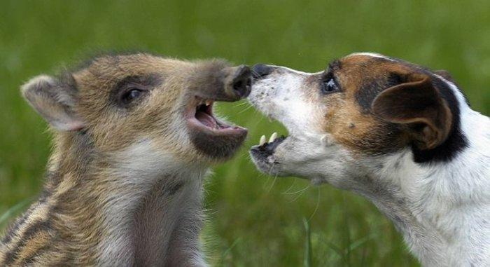 Пес и кабанчик (5 фото)
