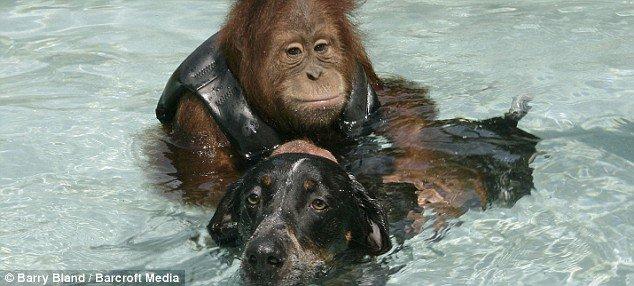 Дружба собаки и орангутанга (5 фото)