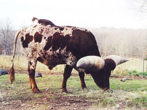 Во что вырос бычок (13 фото)
