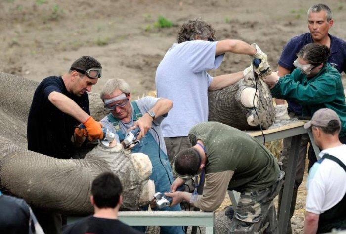 Как сделать педикюр слону (3 фото)