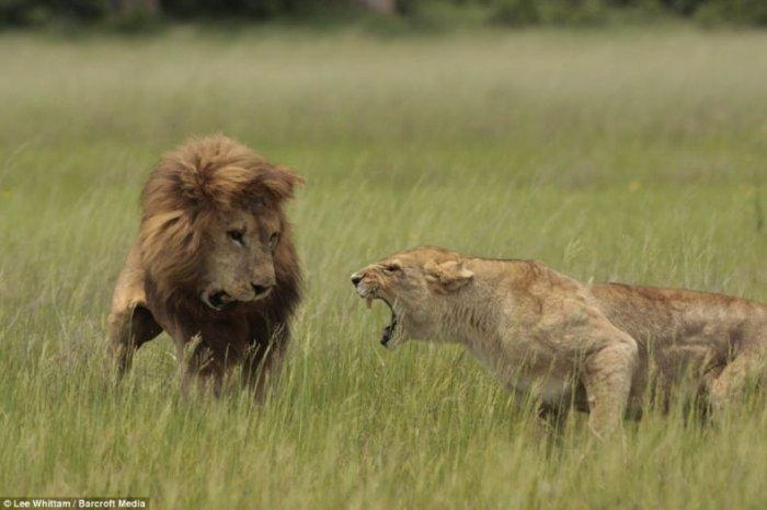 Семейные разборки у львов (3 фото)