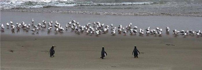 Крутые пингвины идут купаться (3 фото)