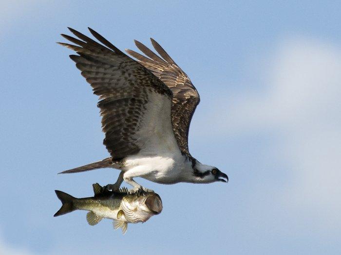 Как рыбачит ястреб (5 фото)