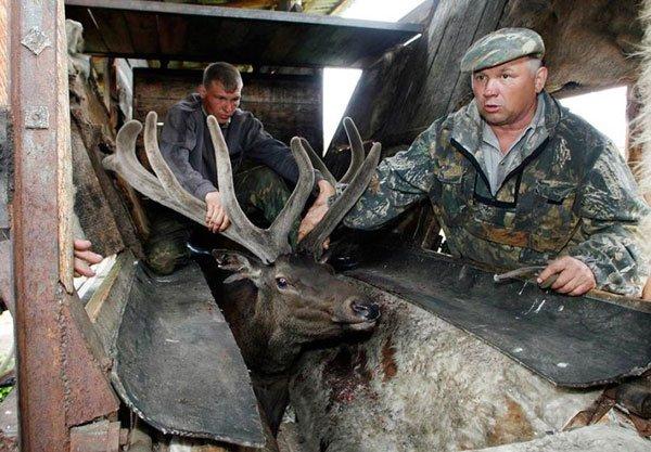Жесть. Как спиливают рога оленям (6 фото)
