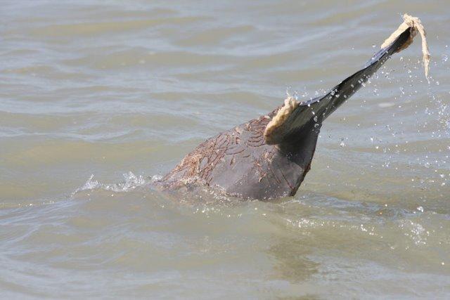 Погрызенный дельфин (6 фото)