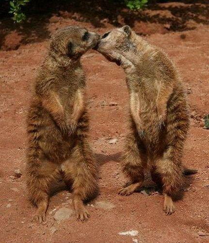 Зверушки целуются (21 фото)