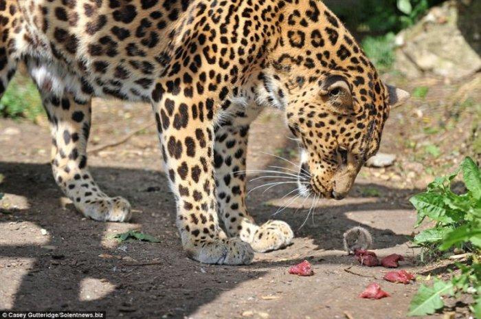 Маленький друг леопарда (4 фото)