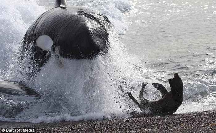 Тюлень сбежал от касатки (4 фото)