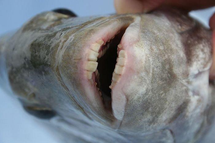 Рыбьи зубки (2 фото)