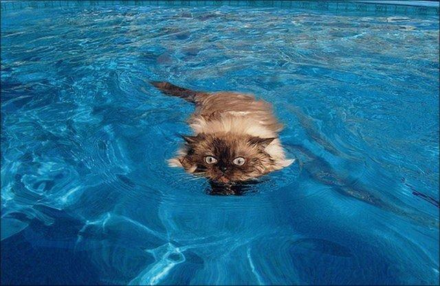 Коты в воде (14 фото)