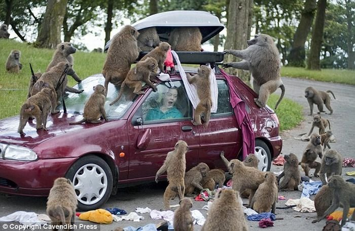 Бабуины атакуют (6 фото)
