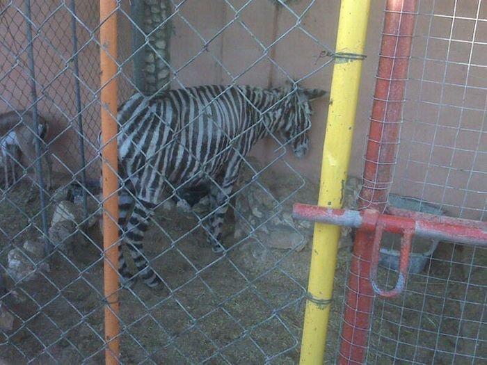 Поддельная зебра (2 фото)