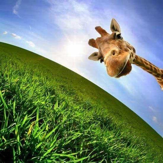 Забавные жирафы (38 фото)
