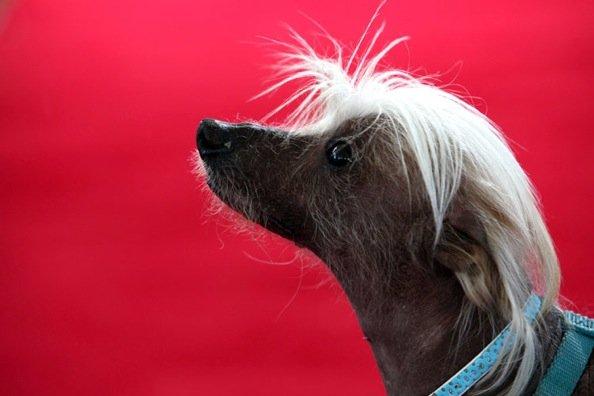 Самый уродливый пес (14 фото)