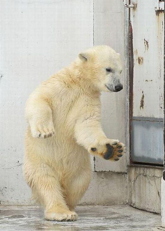 Медвежонок танцует (4 фото)