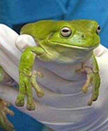 Домашняя лягушка съела пакет (3 фото)