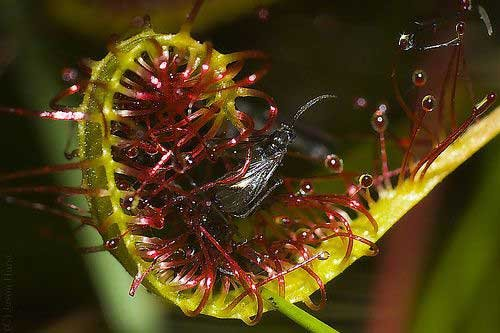 Растения-хищники (45 фото)