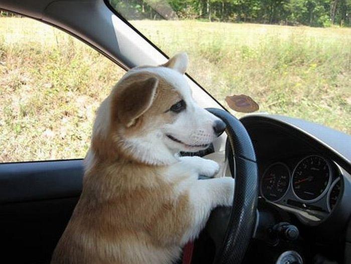 Мегапозитивный щенок (12 фото)