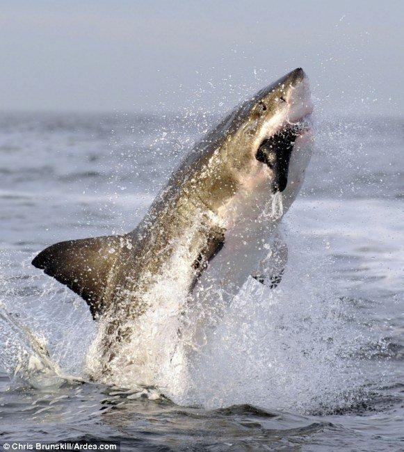 Прыжок белой акулы (3 фото)