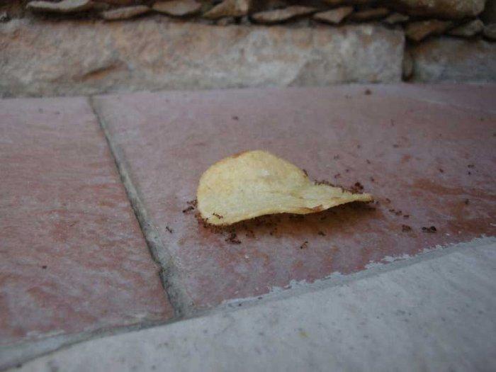 Как муравьи воровали чипсы (26 фото)