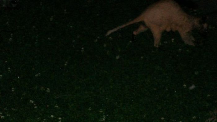 Лысый енот (5 фото)
