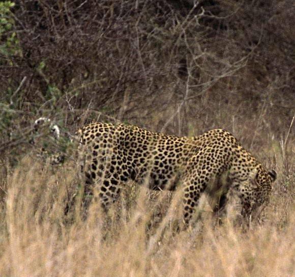 Леопард против крокодила (31 фото)