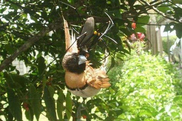 Насекомые - поедатели птиц (11 фото)