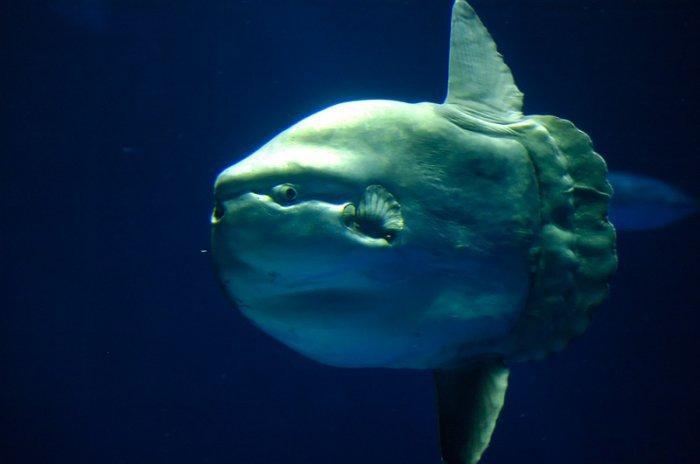 Рыба-луна (15 фото)