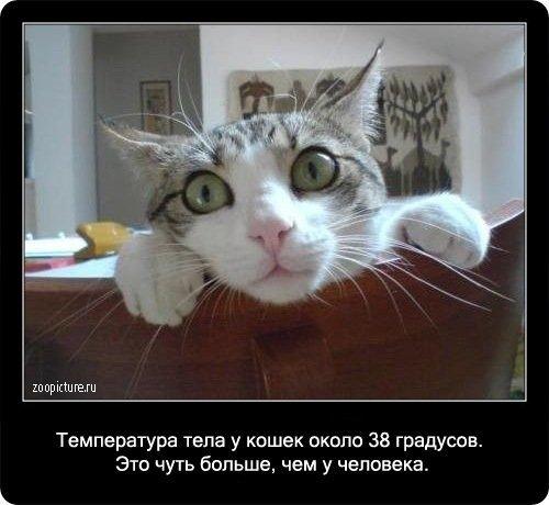 Интересные факты о кошках (90 фото)