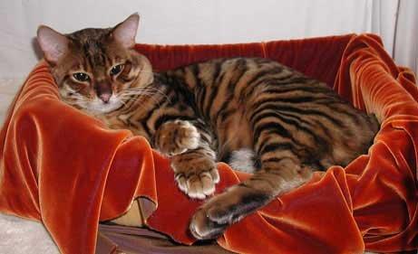Мини-тигр (5 фото)