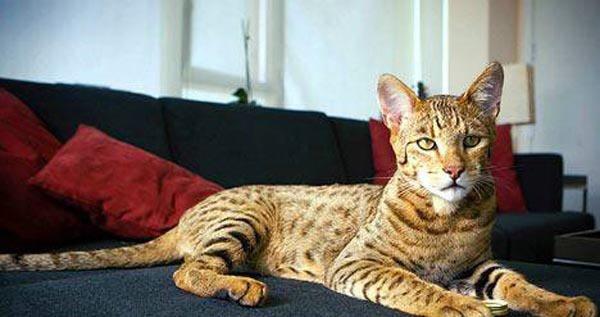 Самая дорогая кошка в мире (9 фото + текст)