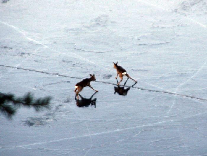 Спасение оленят (10 фото)