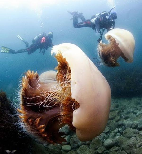 Полчища медуз заполонили побережье Японии (10 фото)