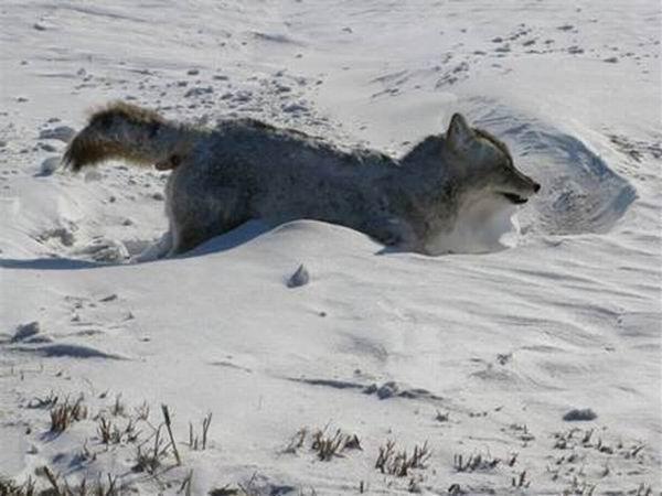 Окоченевший койот (5 фото)