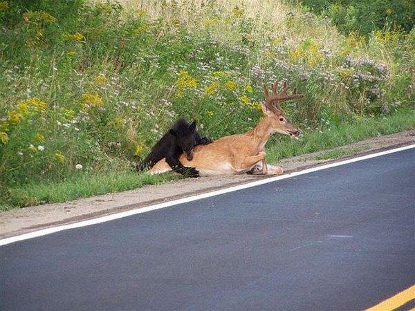Медведь загрыз оленя прямо возле дороги (17 фото)