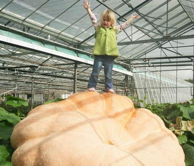 Огромная тыква (3 фото)
