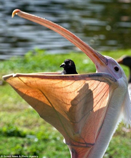 Пеликан сожрал голубя (4 фото)