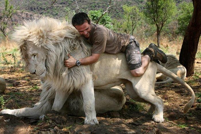 Дружба со львами (13 фото)