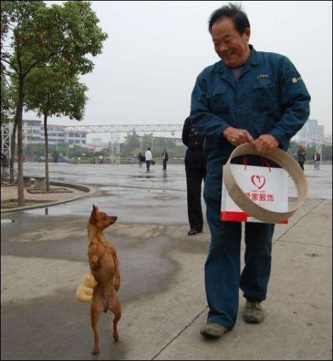 Собака, которая ходит как человек (3 фото)