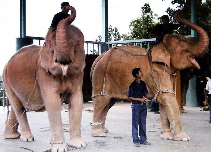 Слоны-альбиносы (7 фото)