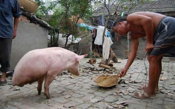 Двуногая свинья из Китая (4 фото)