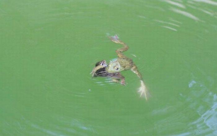 Лягушка против бурундука (17 фото)