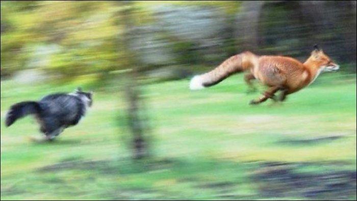 Лиса нападает на кота (2 фото)