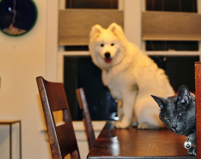 Фотобомбы с собаками и кошками (25 фото)