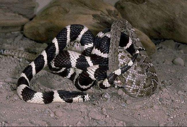 Битва двух змей (7 фото)