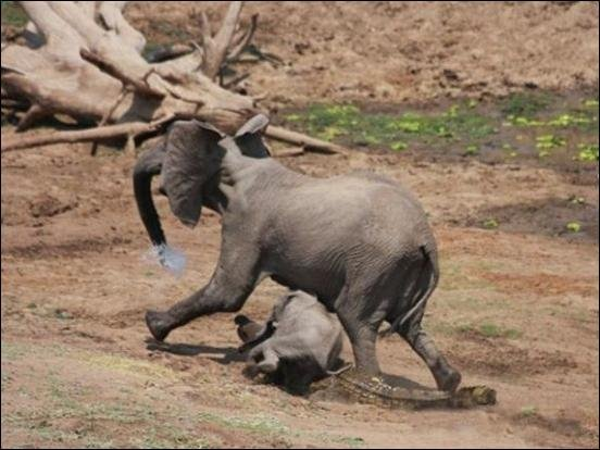 Крокодил порвал слонихе хобот (4 фото)