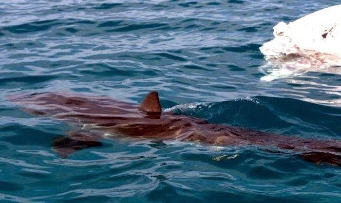 Акула пожирает мертвого кита (27 фото)