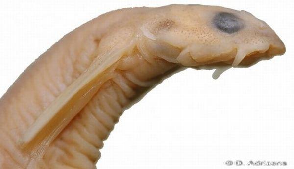 Рыба-паразит (9 фото + фото)