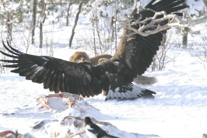 Лиса против орла (4 фото)