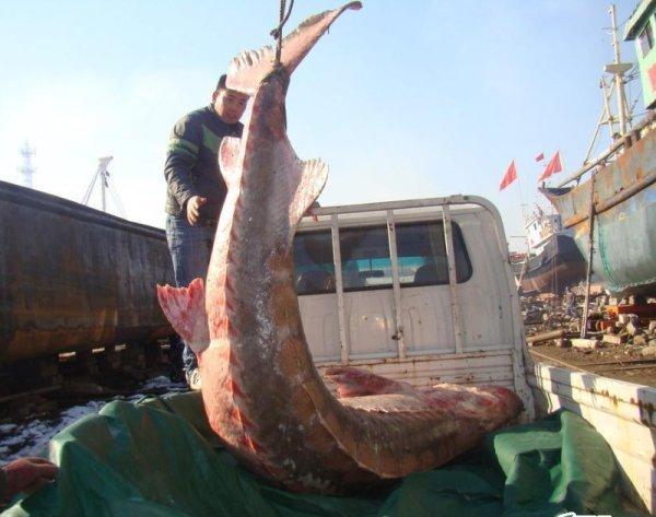 Китайцы поймали осетра (4 фото)
